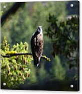 Osprey On Branch Acrylic Print