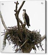 Osprey On Guard Acrylic Print