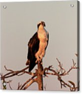 Osprey On The Caloosahatchee River In Florida Acrylic Print