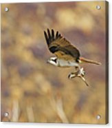 Osprey On The Wing With Fish Acrylic Print