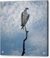 Osprey On Top Of The World Acrylic Print
