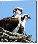 Osprey Pair Acrylic Print