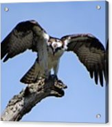 Osprey Power Acrylic Print