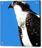 Osprey Profile Acrylic Print by Lori Frisch