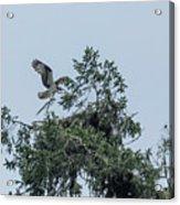 Osprey Reinforcing Its Nest 2017 Acrylic Print