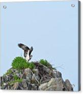 Osprey Sitting On A Ledge In Casco Bay  Acrylic Print