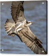 Osprey Take-out Acrylic Print