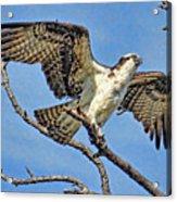 Osprey Wing Stretch Acrylic Print