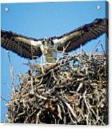 Osprey Wingspan Acrylic Print