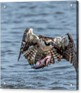 Osprey With Catch 9108 Acrylic Print
