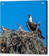 Osprey With Chicks Acrylic Print
