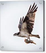 Osprey With Fish 8138 Acrylic Print