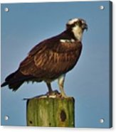 Osprey With His Catch Acrylic Print