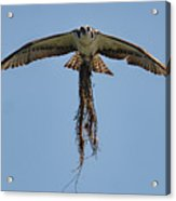 Osprey With Nesting Material 031620161500 Acrylic Print