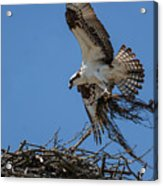 Osprey With Nesting Material 031620161567 Acrylic Print
