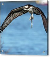 Osprey With Pin Fish Acrylic Print