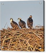Osprey Young Acrylic Print