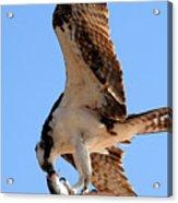 Osprey's Catch Acrylic Print