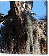 Ospreys In Spanish Moss Nest Acrylic Print