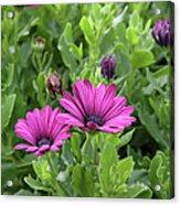 Osteospermum Flowers Acrylic Print