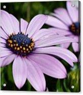 Osteospermum 'margarita Lilac' Acrylic Print