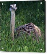 Ostrich Chick Acrylic Print