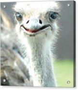 Ostrich Grin Acrylic Print