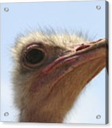 Ostrich Head Close Up Acrylic Print