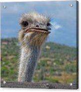 Ostrich Head Acrylic Print