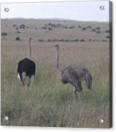 Ostrich Love Acrylic Print