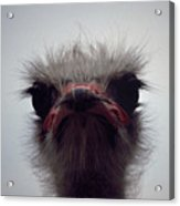 Ostrich - The Sharp End Acrylic Print