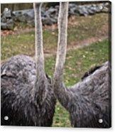 Ostrich Twins 2 Acrylic Print