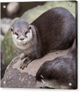 Otters In Arms Acrylic Print