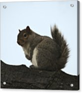 Our Squirrel Chubby Acrylic Print