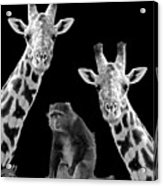 Our Wise Little Friend - Monkey And Giraffes In Black And White Acrylic Print