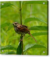 Out For Lunch Acrylic Print