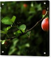 Out On A Limb  A Tempting Photograph Of A Tasty Ripe Red Apple On A Tree  Acrylic Print