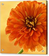 Outrageous Orange Acrylic Print