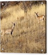 Outstanding In Their Field Acrylic Print