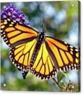 Outstretched Monarch Acrylic Print