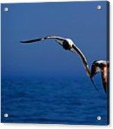 Over The Gull We Go Acrylic Print
