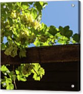 Overhead Grape Harvest - Summertime Dreaming Of Fine Wines Acrylic Print