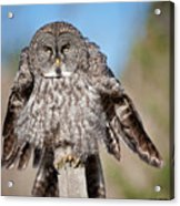 Owl 4 Acrylic Print