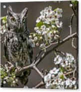 Owl Among The Blossoms Acrylic Print