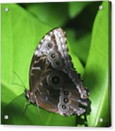 Owl Butterfly On A Cluster Of Green Leaves Acrylic Print