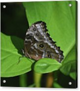 Owl Butterfly With Fantastic Distinctive Eyespots  Acrylic Print