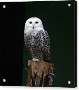 Owl Acrylic Print by Gouzel -