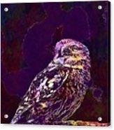 Owl Little Owl Bird Animal  Acrylic Print