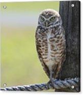 Owl On A Rope Acrylic Print