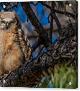 Owlet In A Fir Tree Acrylic Print